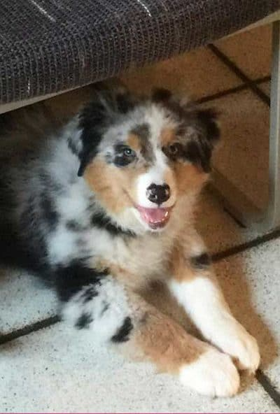 cute puppy pictures of a Aussie hiding under the chair