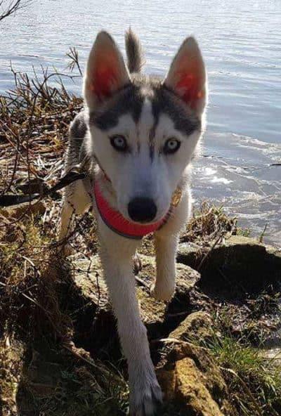 husky puppy near the water