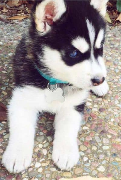 cute Husky pup with blue eyes