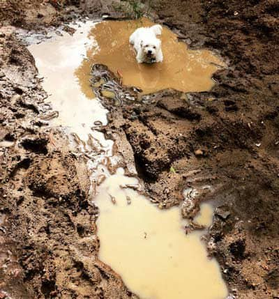 dirty dog pictures with a pure white pooch in a mud puddle