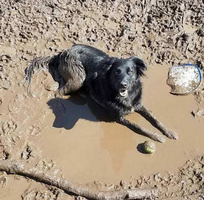 dirty dog pictures with a black canine in a mud puddle surrounded by balls and a Frisbee