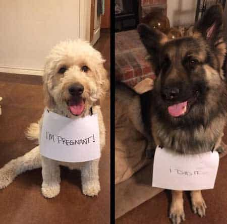 Two funny dogs being shamed for doing the funky monkey and one ending up pregnant, funny dog shaming signs