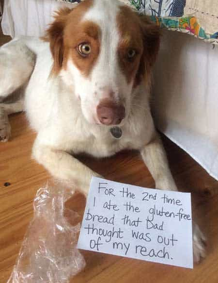Dog Shame pooch eats glutan free bread