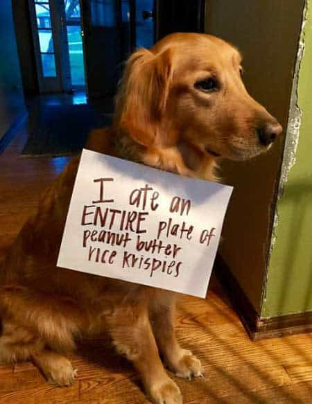 Shaming picture of a canine that ate rice krispies