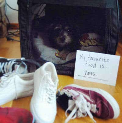 NO, the canine ate the VANS