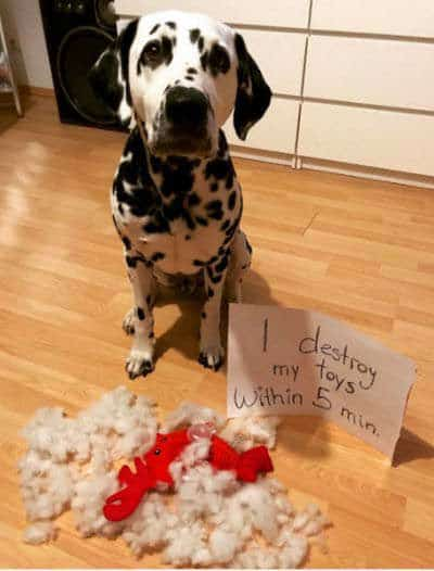 dog shame pictures of a dalmatian