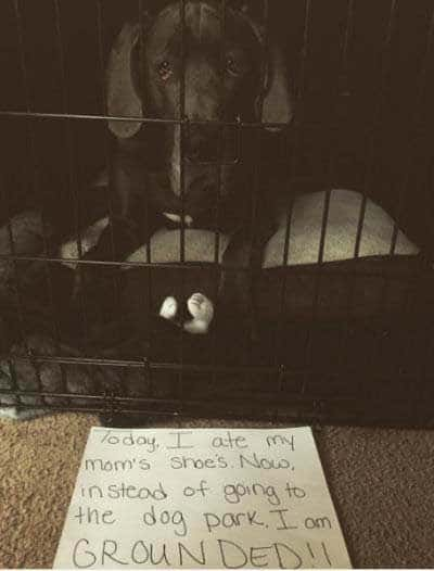 dog shame pictures of Canine for eating a shoe