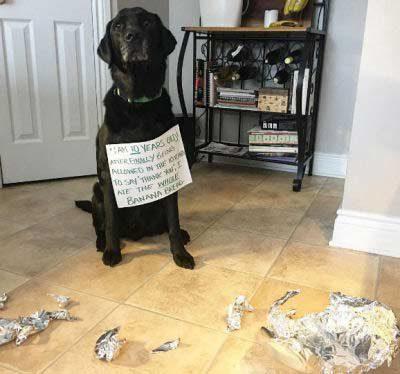 Labrador getting his shaming