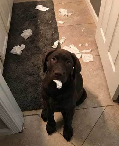 silly dogs eats tissue