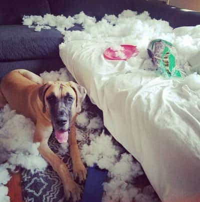 Dog Bed Destruction!canine killed some piece of furniture
