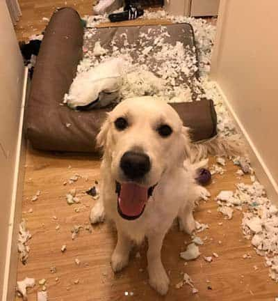 Dog Bed Destruction!Canine eats cushion