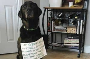 Black Labrador Retriever getting the dog shaming treatment