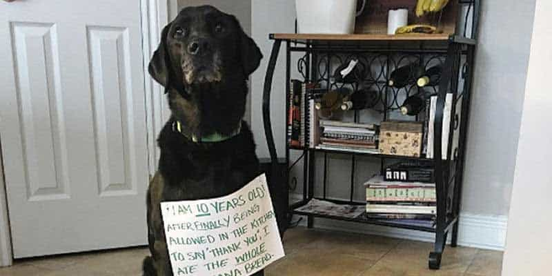 Black Labrador Retriever getting the dog shaming treatment