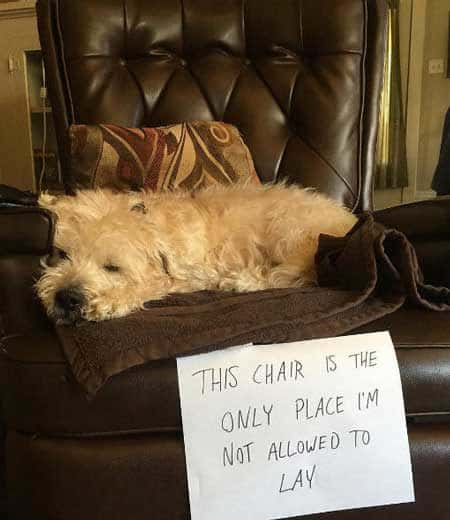 Dogshaming pictures of a dog sleeping in chair that he isn't allowed on