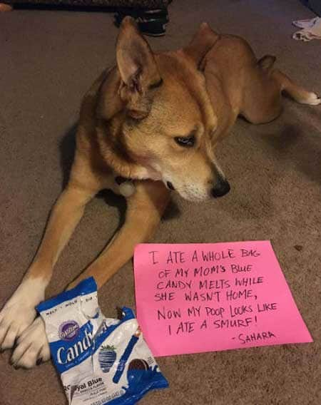 dogshaming pictures of a canine ate blue candy now poops blue