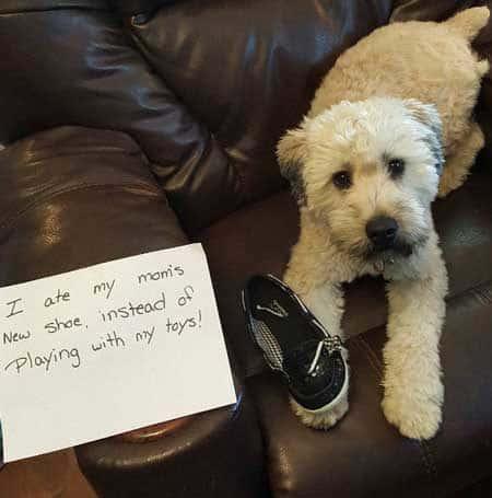 shoe gets it by pooch