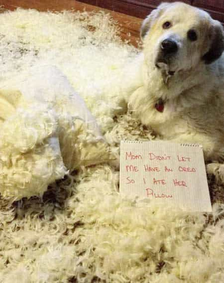 dogshaming pictures of a pooch blew up a pillow