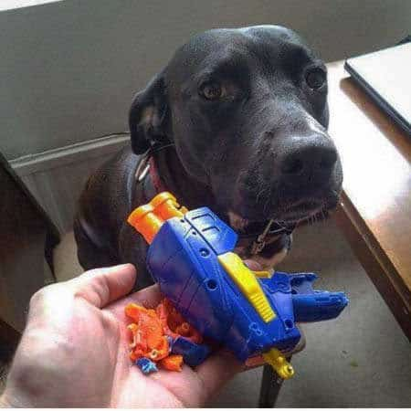 dog pictures of anti-gun pooch destroys a plastic gun