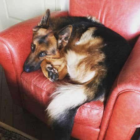 German Shepherd laying in a chair