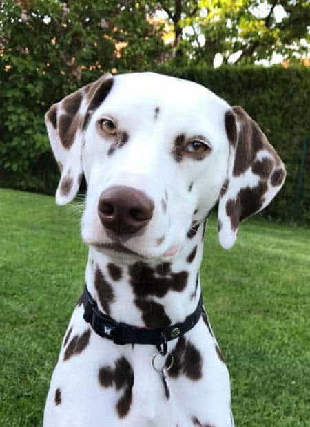 funny Dog Photos with a Dalmatian looking all serious