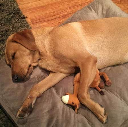 sleeping pooch with his toy horse