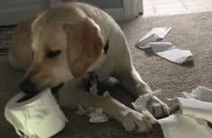 Yellow Labrador eating the last roll of toilet paper for funny dogs destruction post