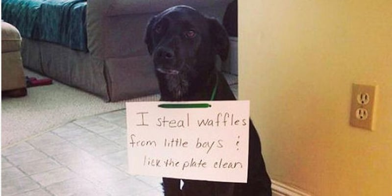 dog shaming of a Black Labrador Retriever hold a sign saying that I steal waffles from little boys