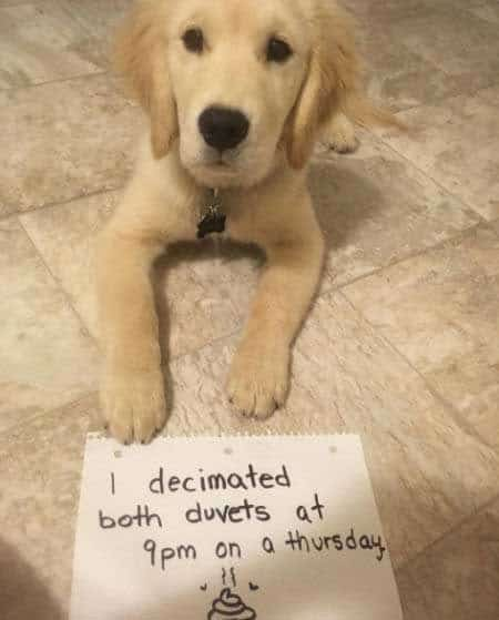 dogs in trouble with a Puppy being shamed for destroying Duvets