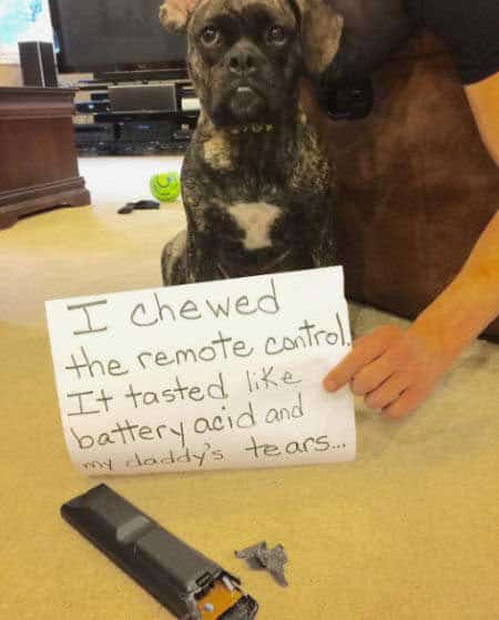 canine being shamed for eating a remote controller
