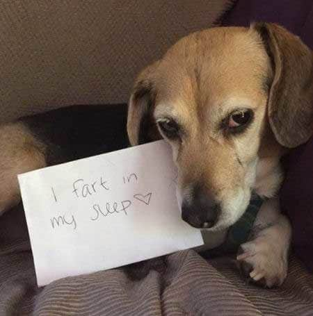 dogs in trouble with a beagle shamed for farting