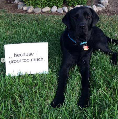 Labrador dog shaming pictures part 2