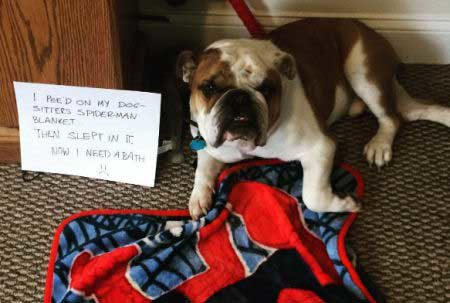canine is part of shamed dogs in trouble for peeing on blanket