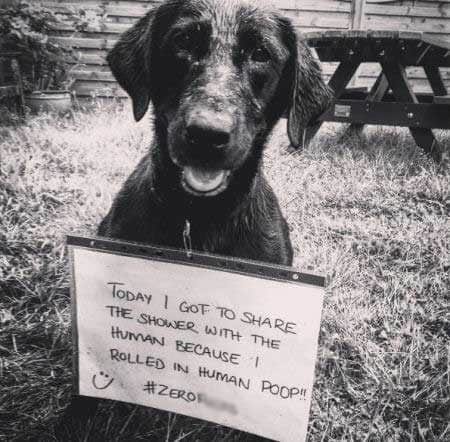 Labrador dog shaming of a lab that had to take a shower because they rolled around in human poop?