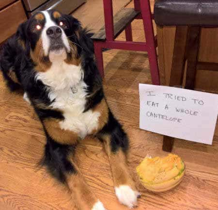 Dog Shaming pics of a Big Canine mistakes a cantelope has a chew toy.