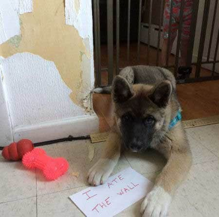 Akita Puppy ate the wall.