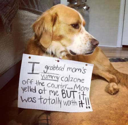 dog shaming pics of Dixie being shamed for eating a Calzone off the counter