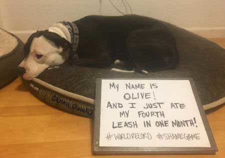 A pit-bull named Olive that ate 4 leashes in one month
