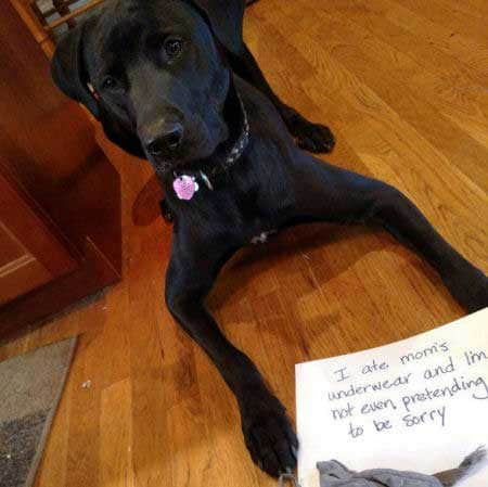 Dog Shaming Homer a black labrador who ate his mom's underwear