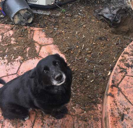 black canine does some landscaping without permission