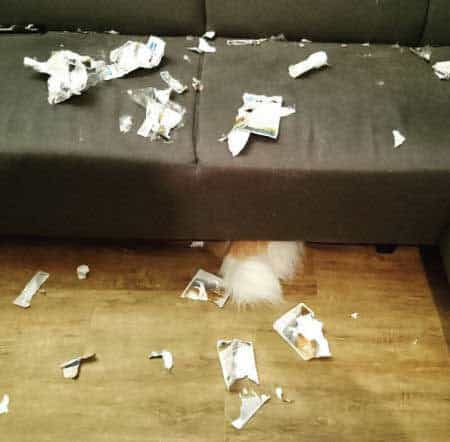 pooch ate all the cats food and hides under the sofa