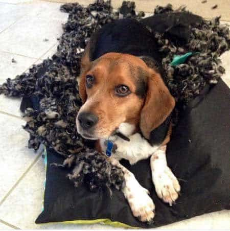 crazy dog pics of a Beagle who lays inside a dogs bed that exploded