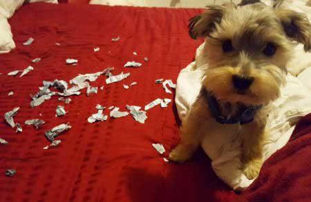 crazy dog pics of a little puppy eats a bill