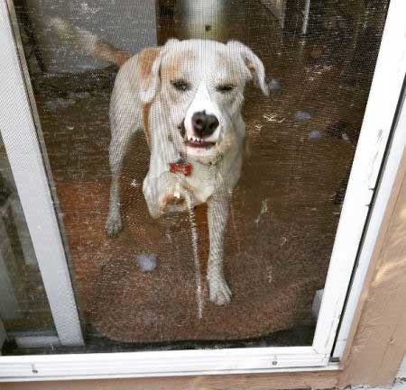 crazy dog pics of a Canine who shredded the screen door