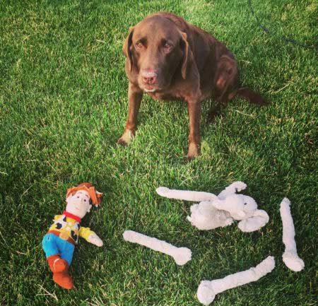 crazy dog pics of Buddy the chocolate Labrador Retriever destroys a stuffed elephant