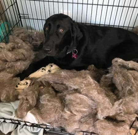 Dog Bed Destruction! Black Labrador Retriever destroys a dogs bed