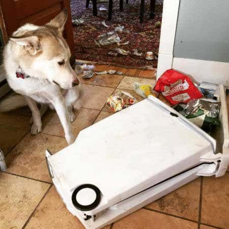 crazy dog pics of Pepper the Husky knocked down the trash can and went through it.