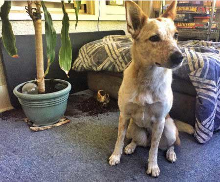 crazy dog pics of a Cattle Dog buries a ball in a potted plant