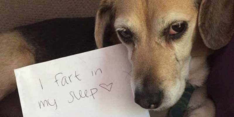 dog shaming of a farting dog