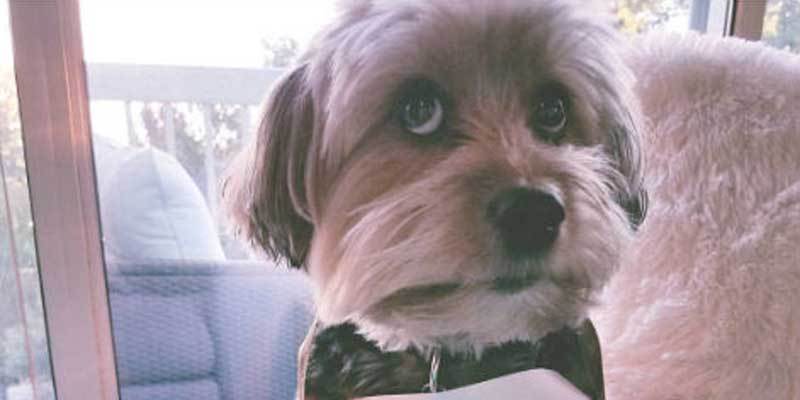 little pooch with big eyes gets the dog shaming treatment