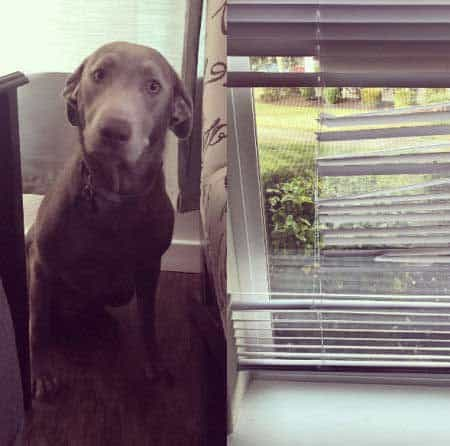 silly dog pics with a Silver Labrador who destroys blinds